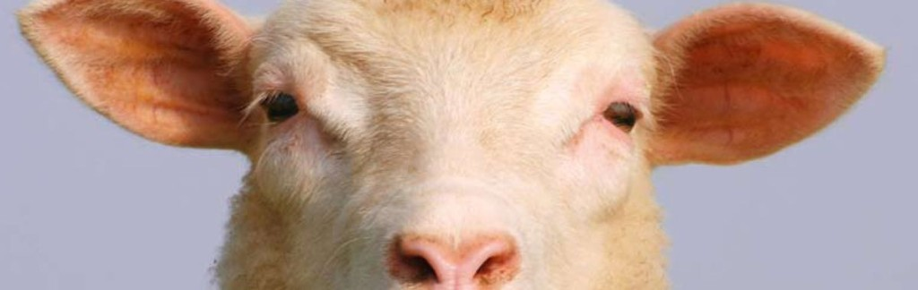 Dolly was the first in-vitro sheep ever.
