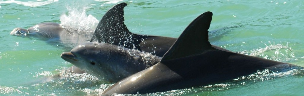 Wildlife in Florida: A Dolphin Family with Baby