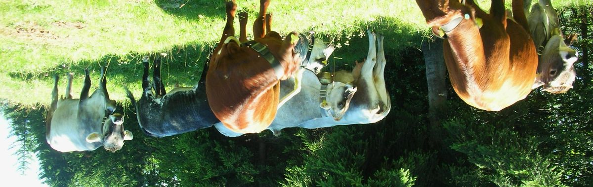 Cows up-side down. Camera tricks reveal what the human eye cannot see.