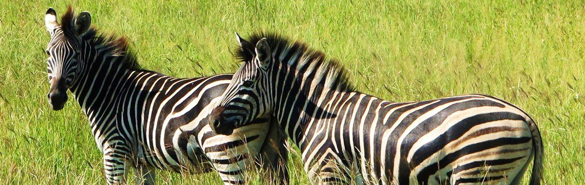 Zebra_Header