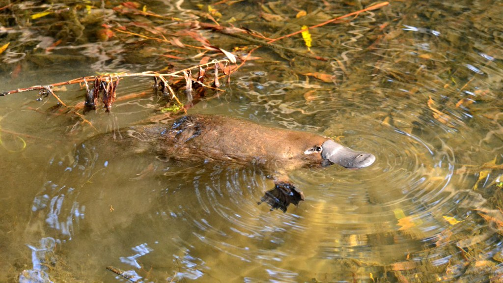 Source: a free creative commonshttps://commons by wikimedia.org/wiki/File:Wild_Platypus_4.jpg