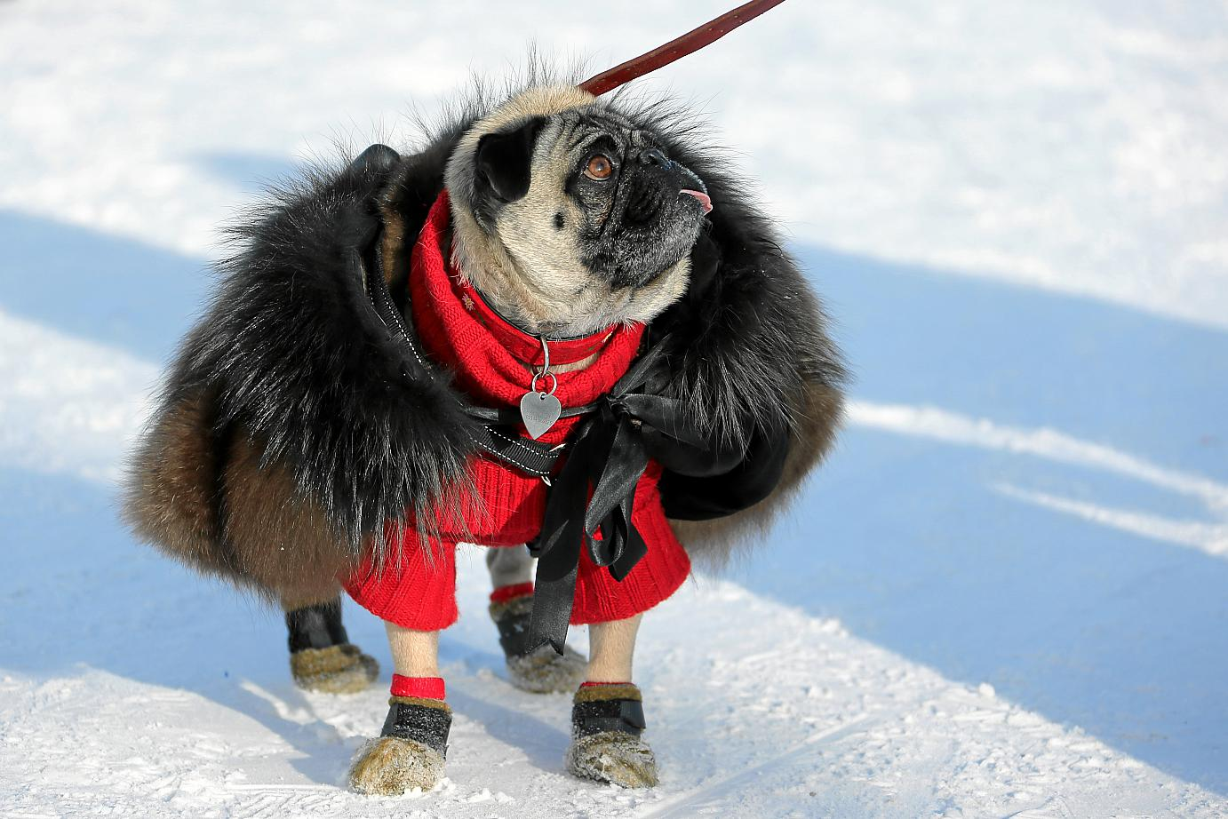 Strengthened by state-of-the-art equipment and clad in bespoke outfits, individuals conscious of their image make sure to offer an immaculate appearance around the clock. A mink coat on an astonished pug is the least canine chique dictates! :-)