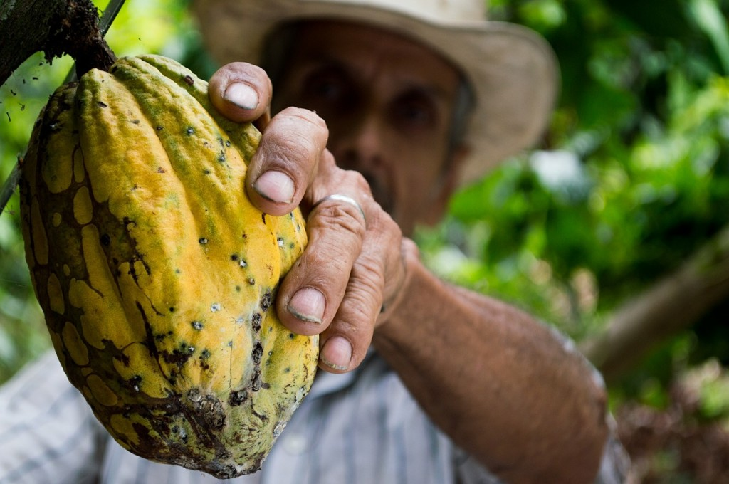 This Columbian farmers holds up the source for solid and drinking chocolate. One coacoa pod contains between 20 and 50 seeds = coacoa beans.         They are left to ferment, are dried and then stored.