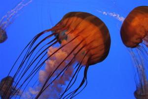 Georgia Aquarium: A sea nettle's treacherous beauty.