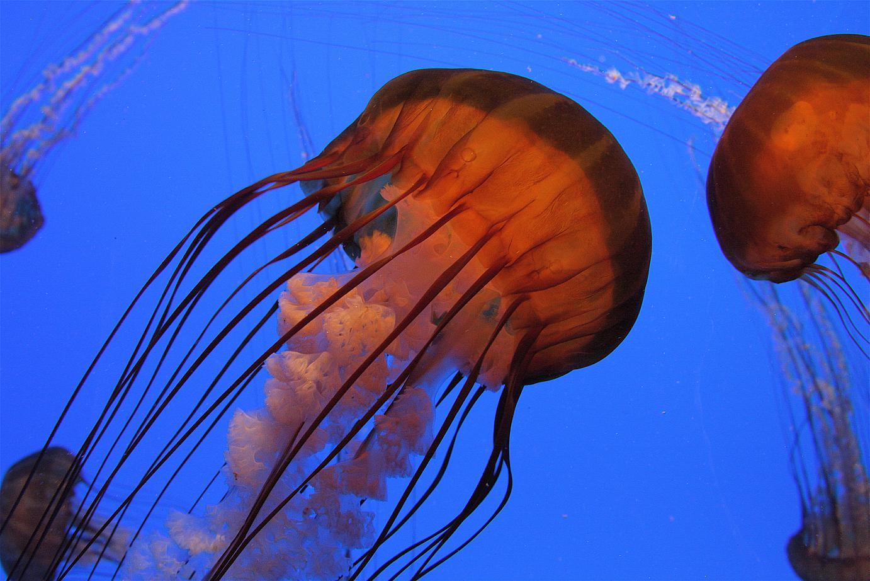 Georgia Aquarium: A sea nettle in all its beauty.
