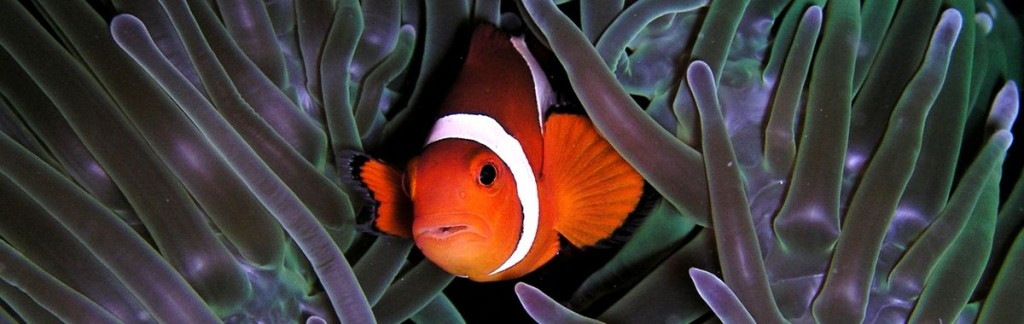 A Clown Fish receiving massage by a sea anemone. Photo: Nick Hobgood.