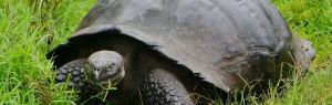 A turtle in Galapagos.Photo: Finch-Bay Hotel.