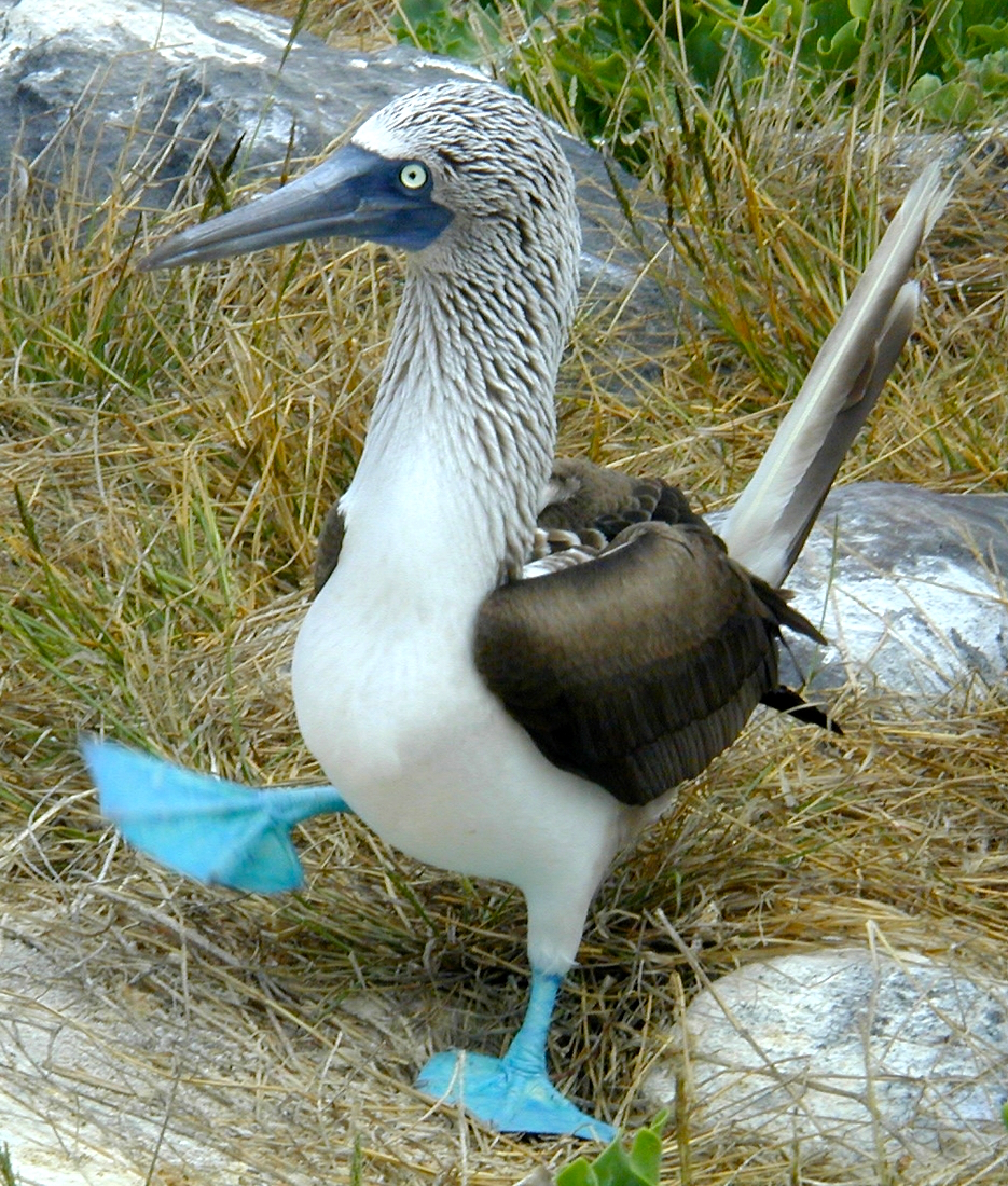 A Blue-footed Booby on Galápagos. © 2002 - Paul McFarling, Charles Darwin Foundation. Licensed under Creative Commons +