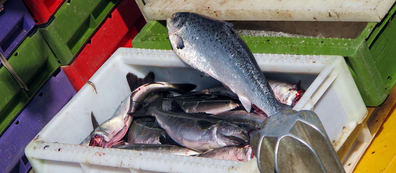 A fresh fish