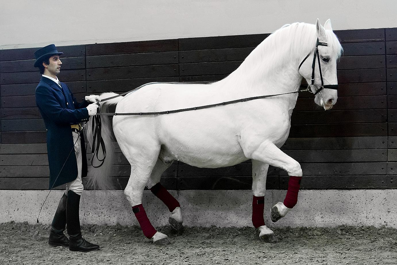 A Lipizzaner groomed to perfection and trained to excel. Photo credit: Ewald Willibald.