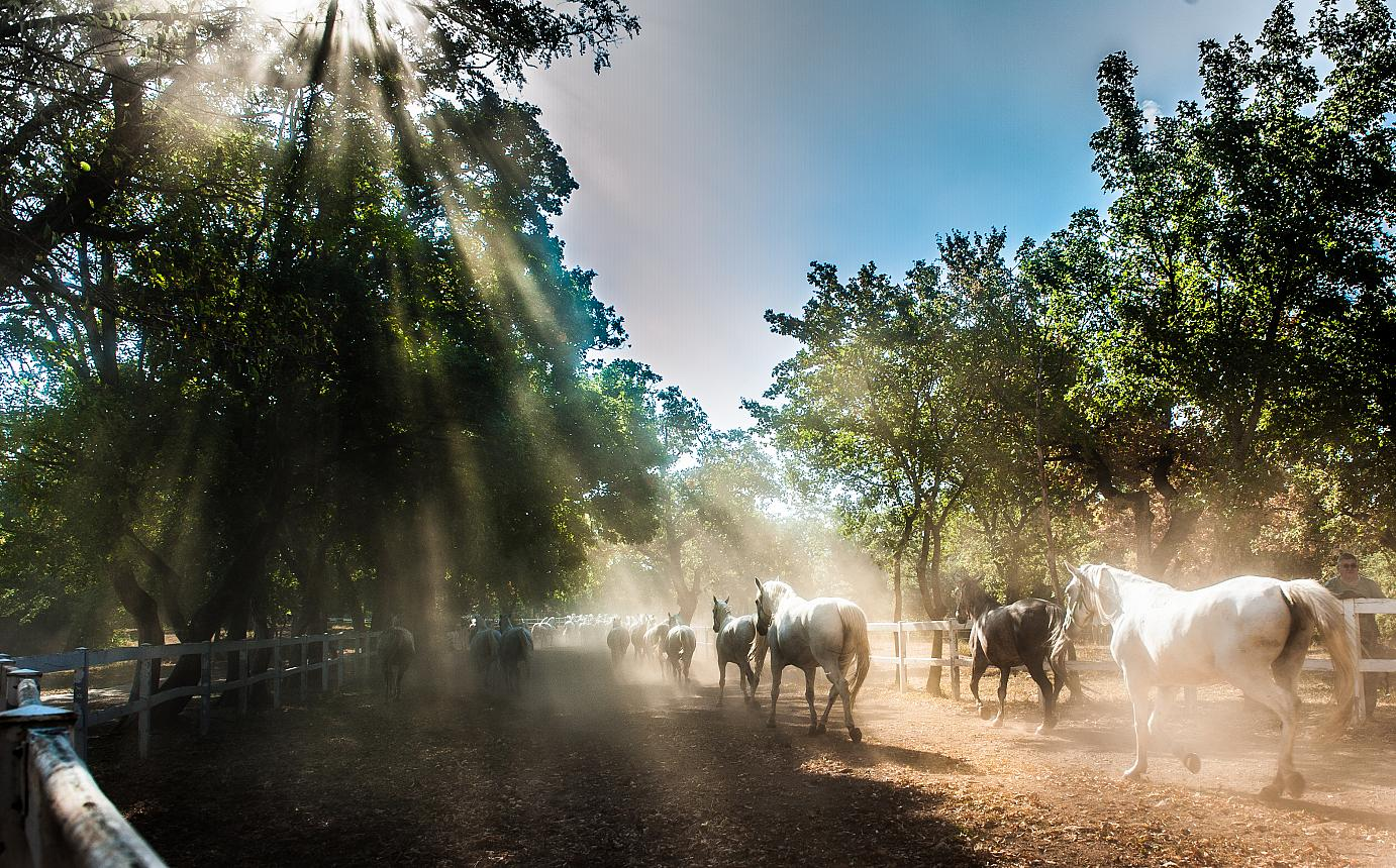 A mystical scene: Lipizzaners gallopping through early morning mist