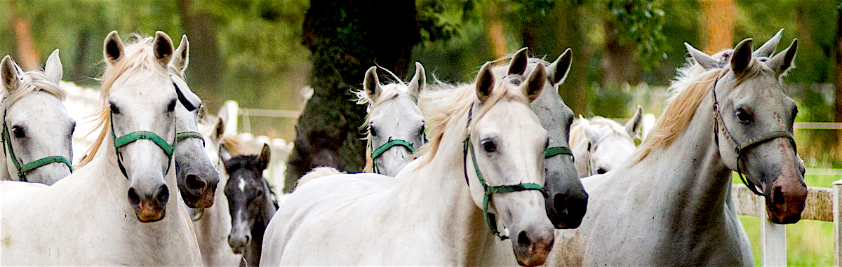 The white Horses of Lipica