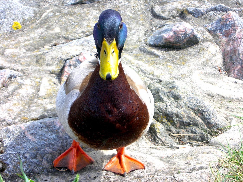 A pretty little duck