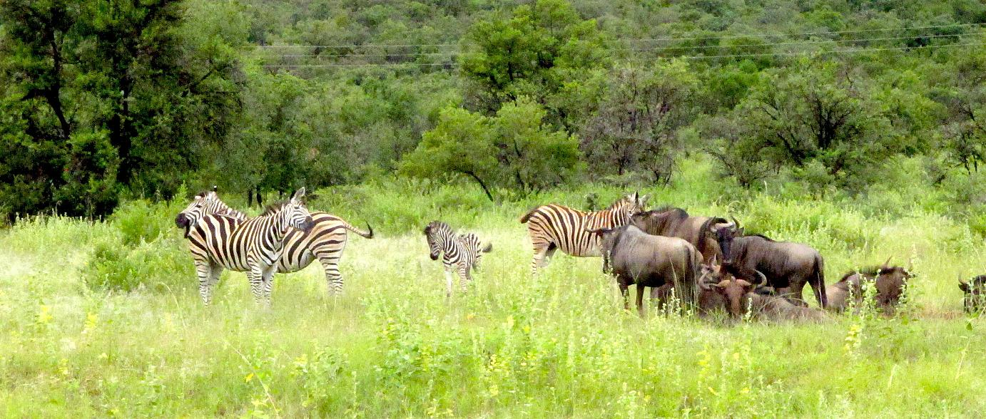 Love is all around: Zebras and Wildebeest at the Entabeni Game Conservancy.