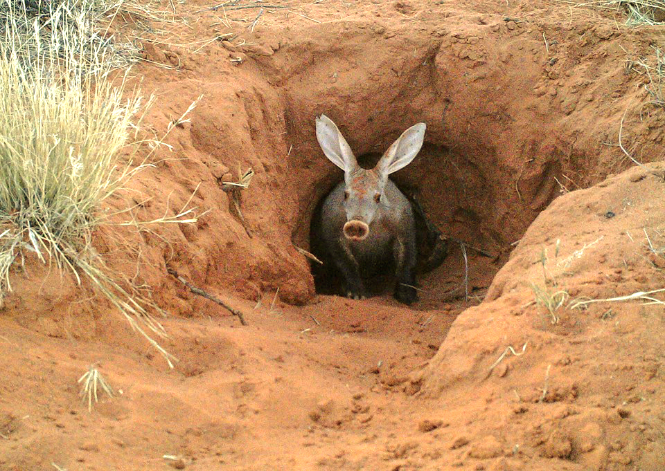 That's an Aardvark - which had not been sighted by us. This photo was taken by Louise Joubert. It is a free creative commons picture.